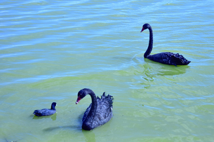 オーストラリア・西オーストラリア州のモンガー湖にいる西オーストラリア州の州の鳥であるブラックスワン(黒鳥)の写真素材 [FYI04489039]