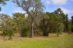 オーストラリア州のパースシティのキングスパークの色々な木々と空と雲の写真素材 [FYI04489051]