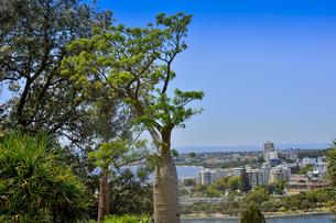オーストラリア・西オーストラリア州のパースシティのキングスパークに生えるボアブ(アオイ科)と眼下に広がるスワンリバーとパースの街並みの写真素材 [FYI04489093]