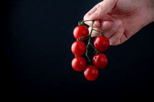 Ripe cherry tomatoes picked by hand.の写真素材 [FYI04489211]