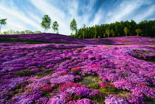 芝さくらが満開の北海道滝上町の写真素材 [FYI04489214]