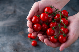 Ripe cherry tomatoes in hands.の写真素材 [FYI04489341]