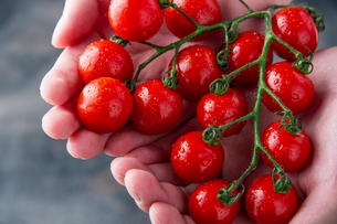 Ripe cherry tomatoes in hands.の写真素材 [FYI04489342]