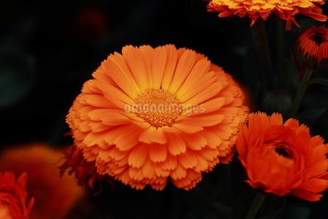 金盞花の写真素材 [FYI04489539]