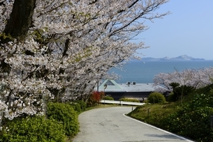 赤穂御崎の満開の桜と瀬戸内海播磨灘の写真素材 [FYI04489839]