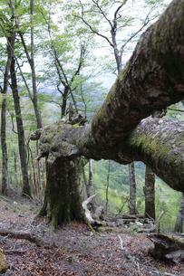幹から折れたブナの巨木の写真素材 [FYI04489918]