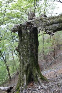 幹から折れたブナの巨木の写真素材 [FYI04489920]