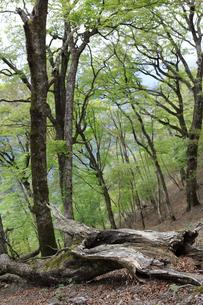 森に横たわるブナの倒木の写真素材 [FYI04489921]
