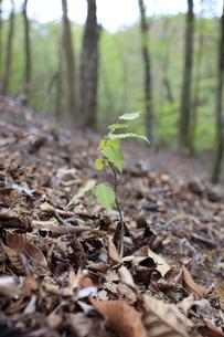 森の中でスクスクと育つブナの幼木の写真素材 [FYI04489927]