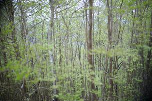 若葉の芽吹く新緑の森の写真素材 [FYI04489928]
