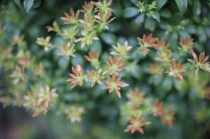春になって若葉を出すアセビの写真素材 [FYI04489929]