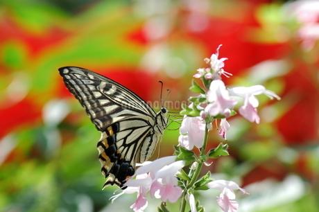 花の蜜を吸うアゲハチョウの写真素材 [FYI04490151]