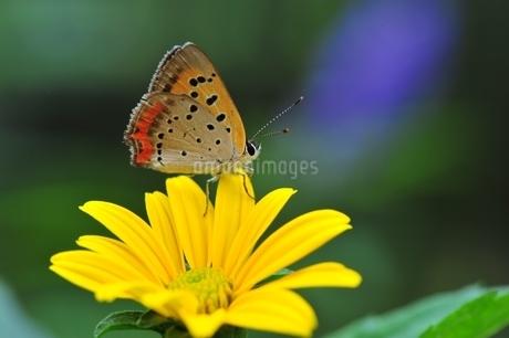 花の蜜を吸うベニシジミチョウの写真素材 [FYI04490172]