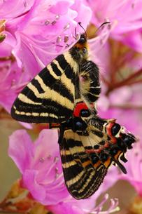 ミツバツツジの上で交尾するギフチョウの写真素材 [FYI04490210]