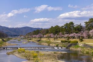 賀茂川 半木の道と桜並木の写真素材 [FYI04490591]