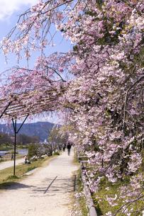 半木の道と桜並木の写真素材 [FYI04490593]