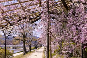 半木の道と桜並木の写真素材 [FYI04490594]