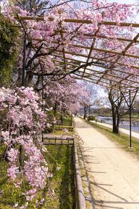 半木の道と桜並木の写真素材 [FYI04490595]