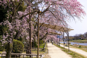 半木の道と桜並木の写真素材 [FYI04490596]