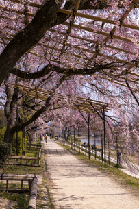半木の道と桜並木の写真素材 [FYI04490597]