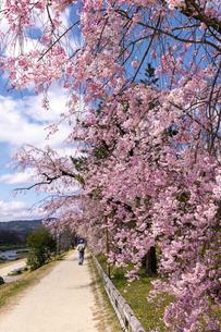 賀茂川 半木の道 桜の写真素材 [FYI04490599]