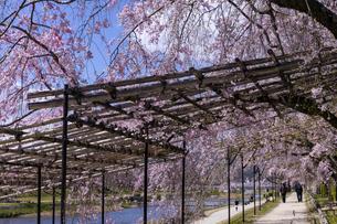 賀茂川 半木の道 桜の写真素材 [FYI04490600]