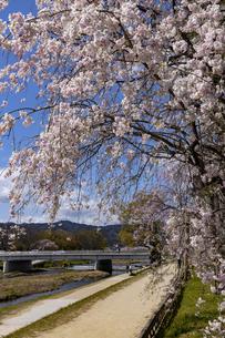 賀茂川 半木の道 桜の写真素材 [FYI04490602]