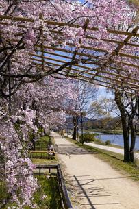 賀茂川 半木の道 桜の写真素材 [FYI04490603]
