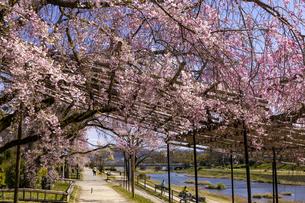 賀茂川 半木の道 桜の写真素材 [FYI04490605]