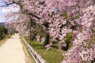 賀茂川 半木の道 桜の写真素材 [FYI04490607]