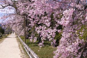 賀茂川 半木の道 桜の写真素材 [FYI04490608]