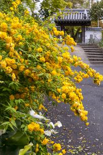 恵心院参道のヤマブキの写真素材 [FYI04490611]