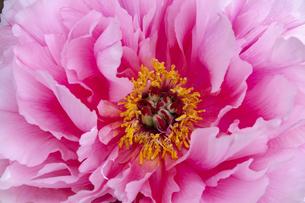 牡丹の花芯の写真素材 [FYI04490623]