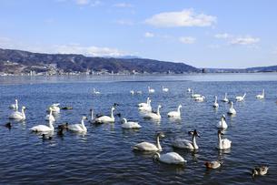 冬の諏訪湖 湖面の白鳥と八ヶ岳の山並みの写真素材 [FYI04490707]