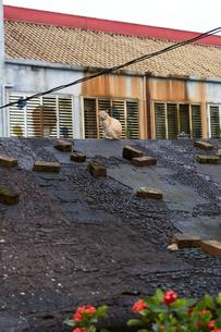 猴硐猫村 Houtong Cat Village 屋根の上のネコの写真素材 [FYI04490933]