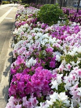 ツツジ花壇の写真素材 [FYI04490996]