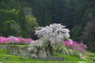 又兵衛桜(本郷の瀧桜)の写真素材 [FYI04491049]