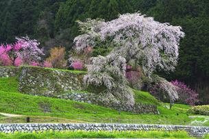 又兵衛桜(本郷の滝桜)の写真素材 [FYI04491052]