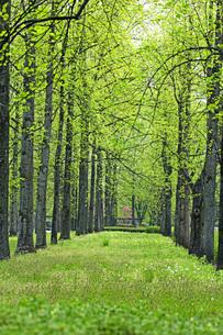 新緑の銀杏並木の写真素材 [FYI04491125]