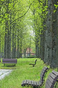 新緑の銀杏並木の写真素材 [FYI04491126]