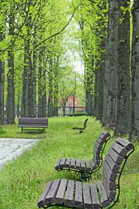 新緑の銀杏並木の写真素材 [FYI04491127]