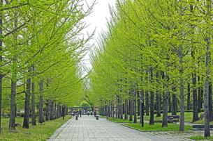 新緑の銀杏並木の写真素材 [FYI04491128]