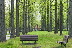 新緑の銀杏並木の写真素材 [FYI04491129]