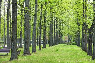 新緑の銀杏並木の写真素材 [FYI04491131]