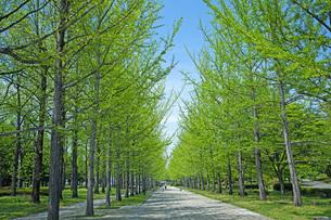 新緑の銀杏並木の写真素材 [FYI04491136]