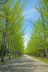 新緑の銀杏並木の写真素材 [FYI04491137]