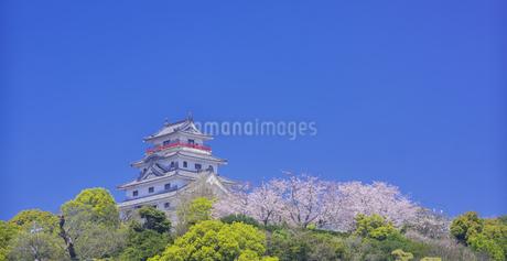 佐賀県 桜 唐津城 (舞鶴公園) の写真素材 [FYI04491677]