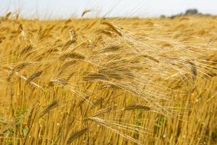 大麦の写真素材 [FYI04491762]