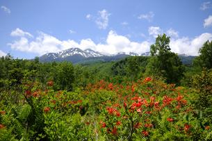 ツツジ咲く乗鞍高原と残雪の乗鞍岳の写真素材 [FYI04491846]