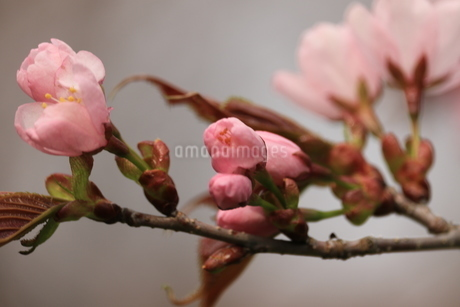 桜のつぼみの写真素材 [FYI04491910]